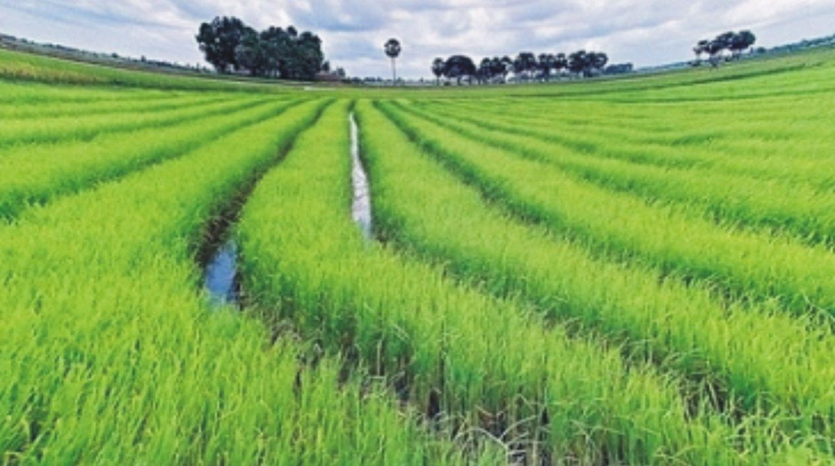 Rice Farming Business Plan in Nigeria 2019 PDF Farming