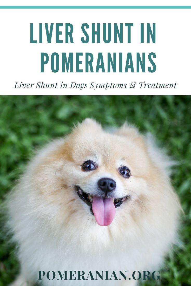 Liver shunt in puppy pomeranians dog health pomeranian