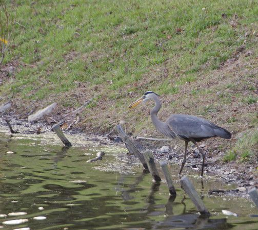 This heron enjoys a snack from the pond at Green Spring Gardens.