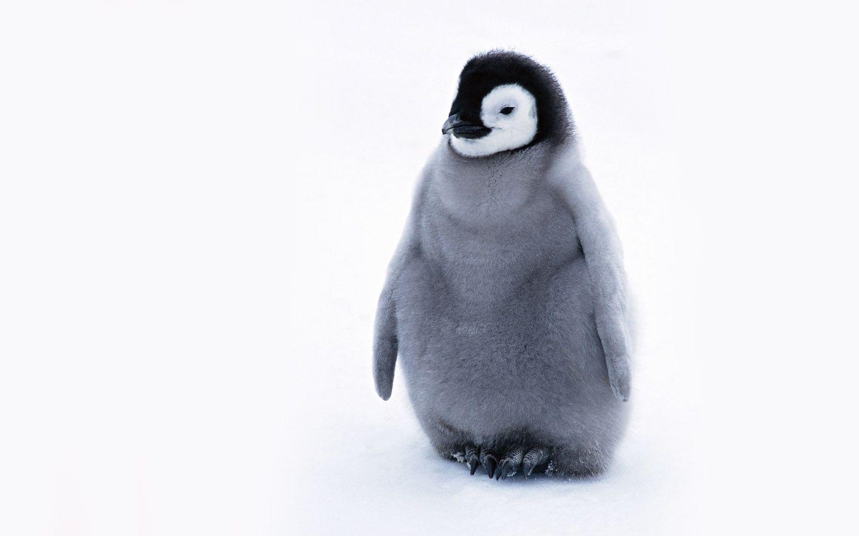 Penguins Wallpaper Cute Penguin Penguin Wallpaper Penguins Baby Penguins