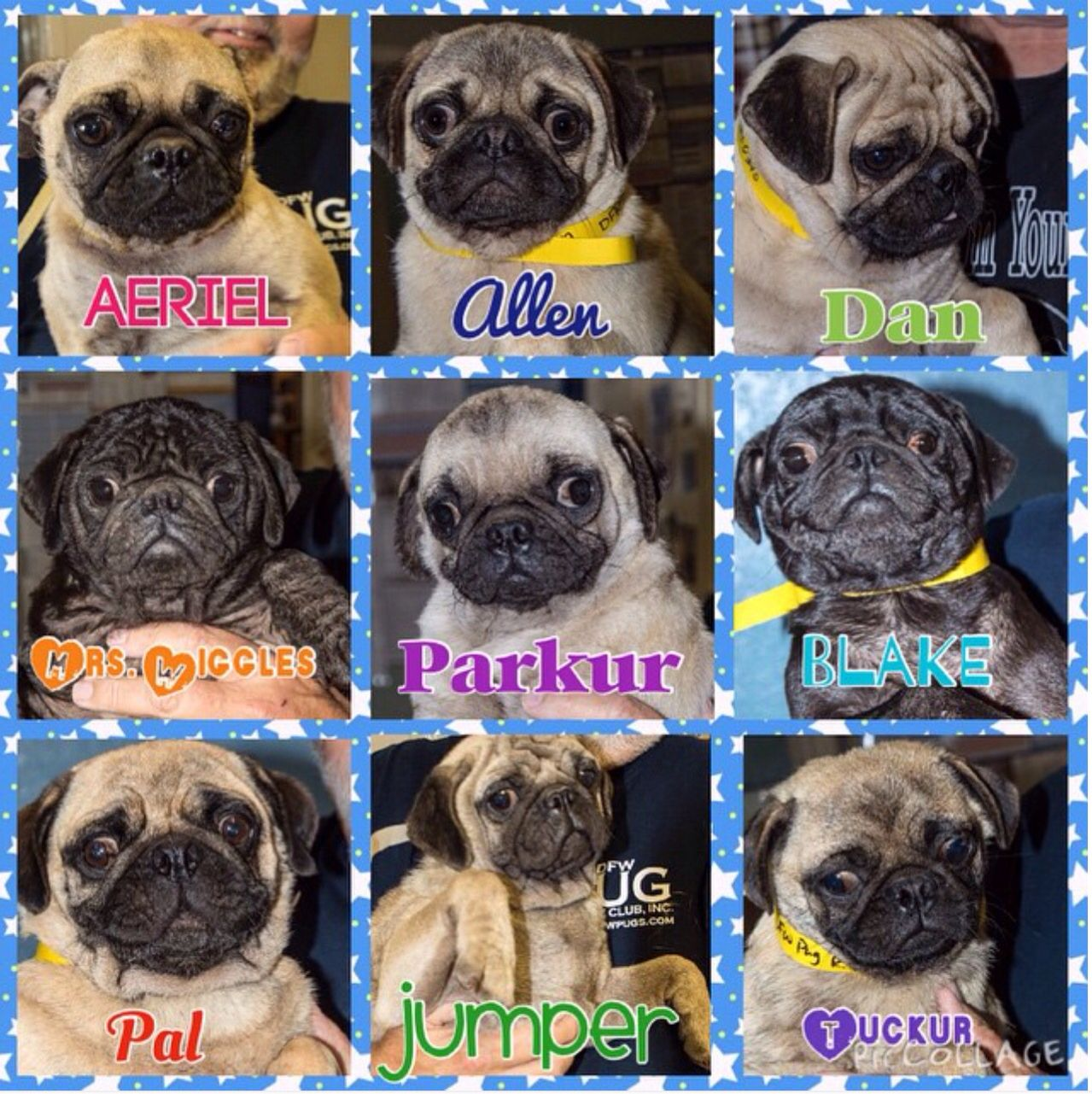 Dfw Pug Rescue Have You Seen Some Of The Precious Puggy Faces