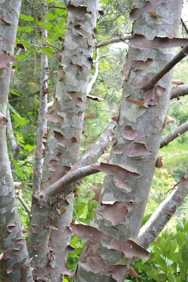 Four-season interest suggestions? How about Lacebark Pine (Pinus bungeana) for added texture all year!