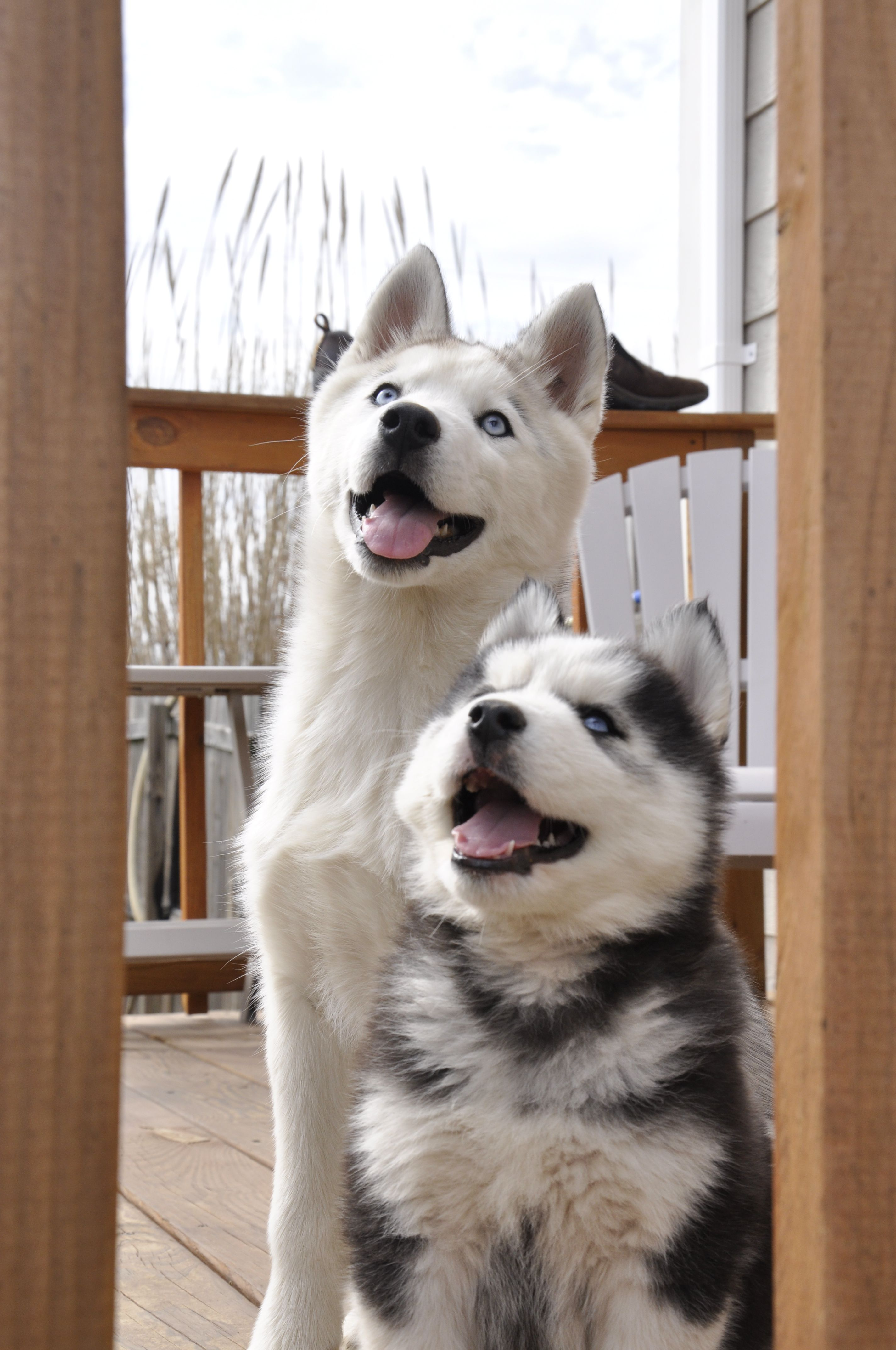 All The Answers You Need About Dogs Lie Within This Article Husky Puppy Siberian Husky Puppies Husky Puppies For Sale