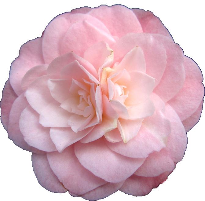 Transparent Flowers Camellia Japonica Little Bo Peep X Aesthetic Roses Transparent Flowers Flowers