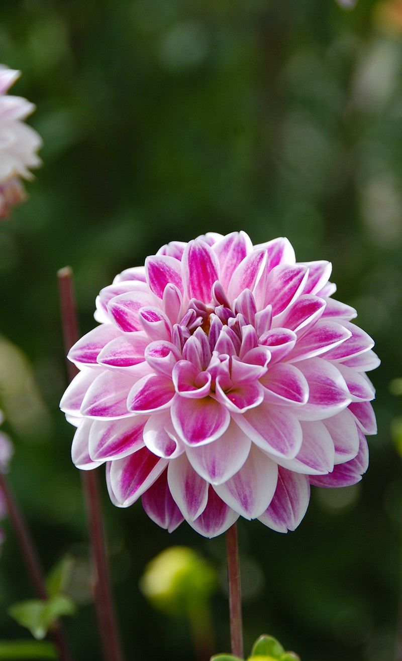 Dahlia Fancy Pink And White Blossoms Ernest Turc Dahlias