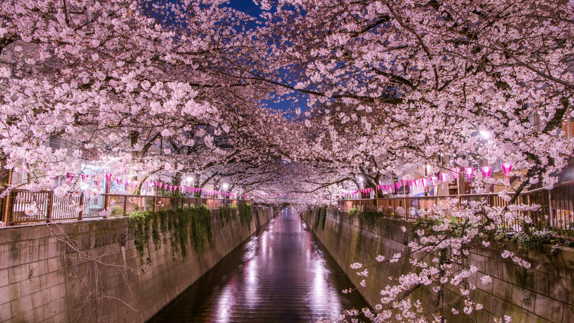 Cherry Blossom Viewing Tokyo 1920x1080 Cherry Blossom Hanami Cherry Blossom Wallpaper