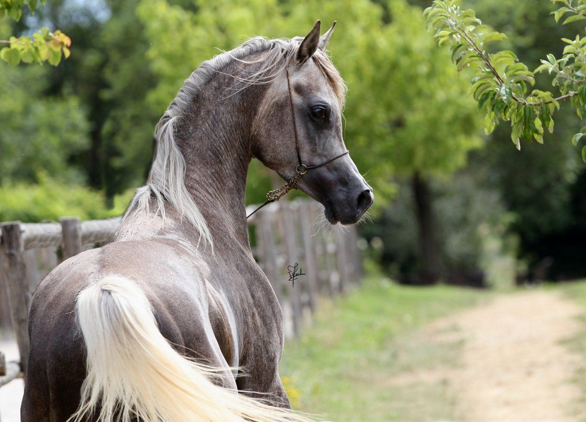 Pin By Audrey Sturner On Beautiful Arabian Horses
