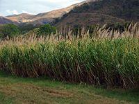 """Caña de azucar  /  Sugar Cane""  #azucar #sugarcane #sugar  #agricultura #agriculture #farming #aragua #venezuela"