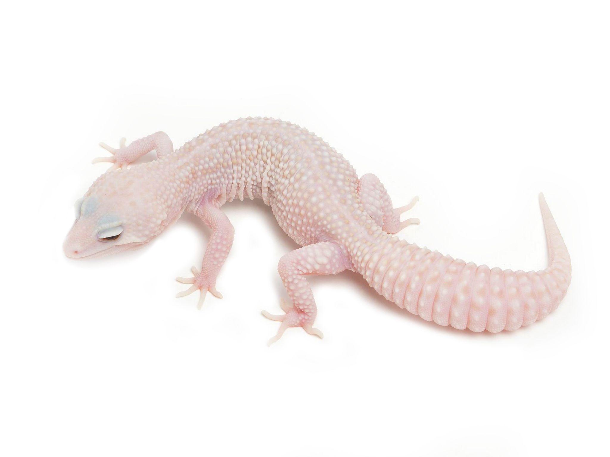 Super Typhoon | Leopard Geckos | Leopard Geckos | Pinterest