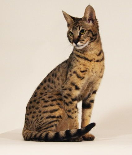 Domestic Cats Rare The Ashera Cat Or A Savannah