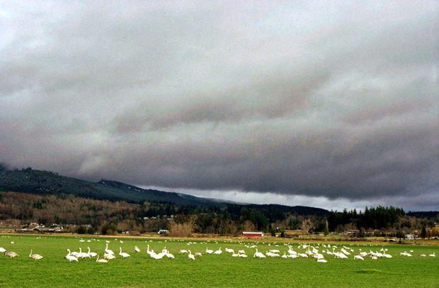 trumpeter swans. via folkloric blog