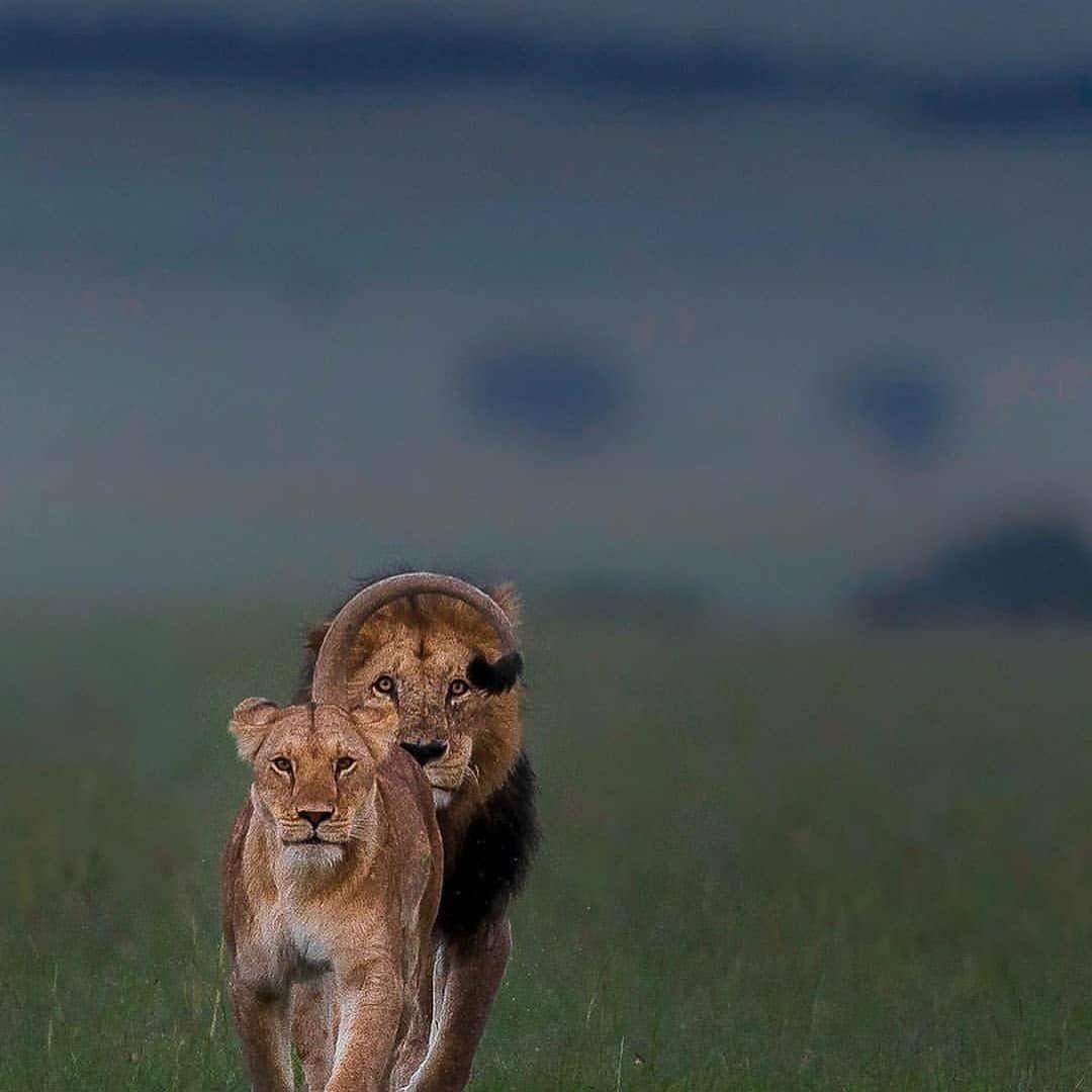 Lionoftheyear On Instagram Follow Lionoftheyear If You Love Lions Credit Varun Aditya Lion Lionking Liontatto Lioncub Lionsofinstagram Lions Lionlo