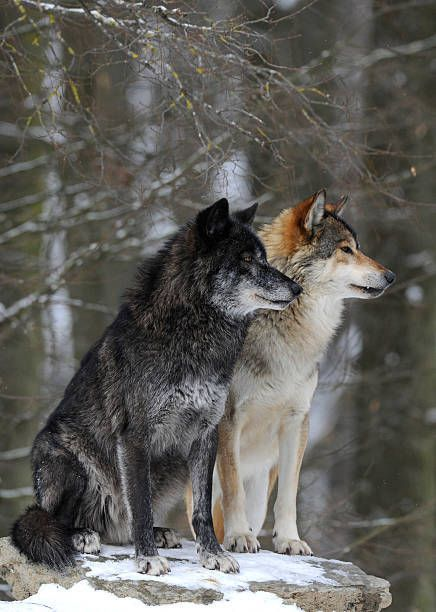 "freshcoolwater:""Mackenzie Valley Wolf, Alaskan Tundra Wolf or Canadian Timber Wolf -Canis lupus occidentalis"""