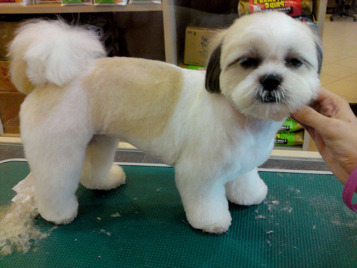 shih tzu haircuts grooming on grooming poodle haircut 3520