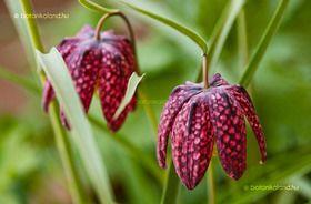 Mocsári Kockásliliom -Fritillaria meleagris