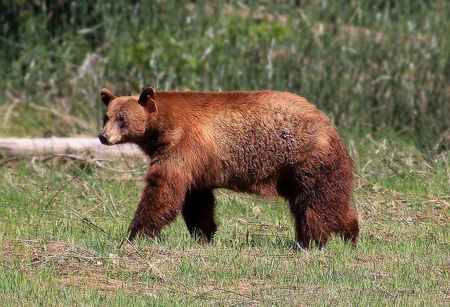 Bearly Caught It Yosemite Bears Yosemite Park Bear