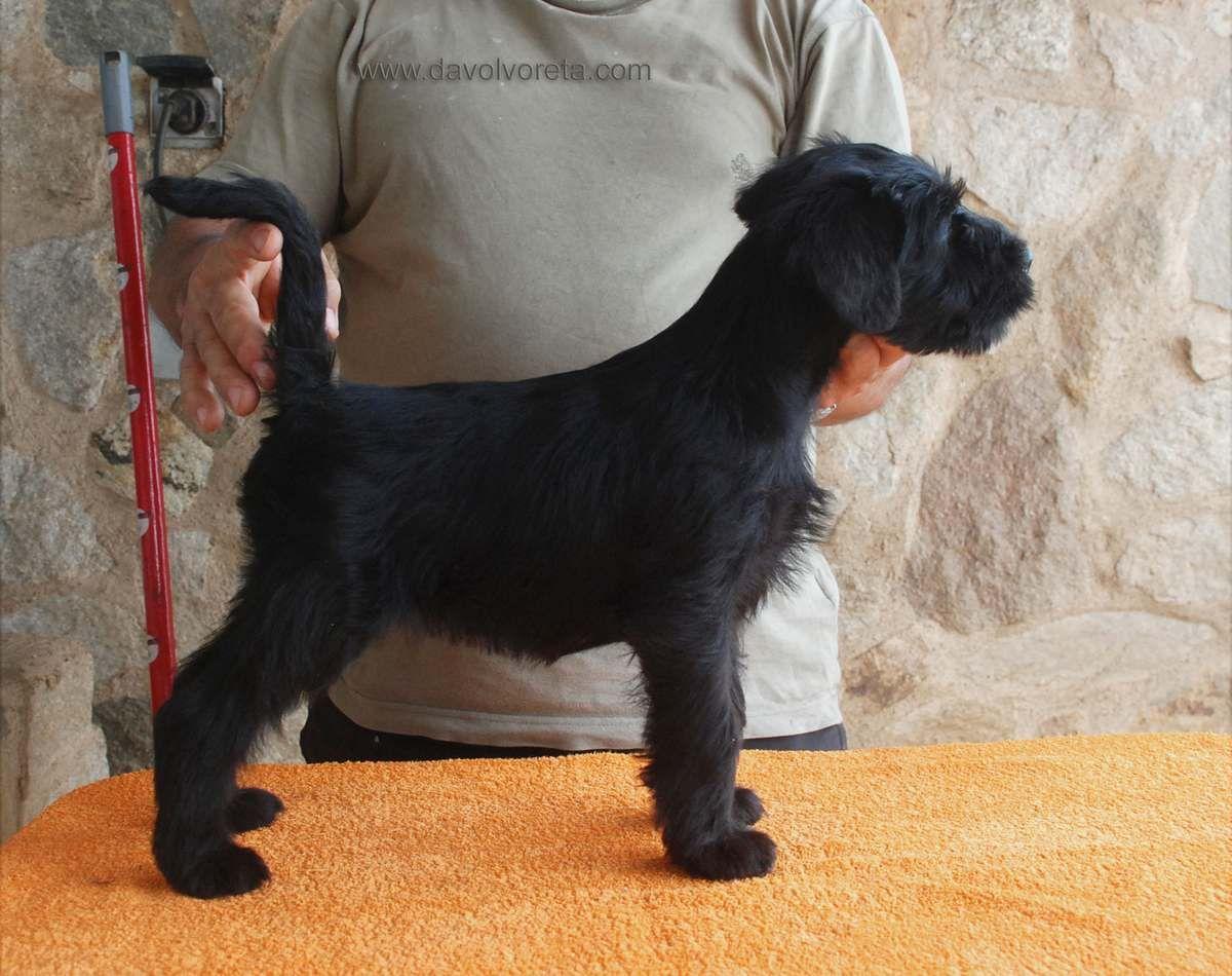 Black standard schnauzer female. 8 Weeks old. | Keeshond ...