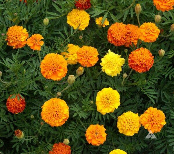 French Marigold Petite Mix 10rb Isi 10 Benih Tanaman Marigold Ini Merupakan Jenis Dwarf Kerdil Yang Memiliki Perpaduan Warna Annual Plants Flowers Seeds