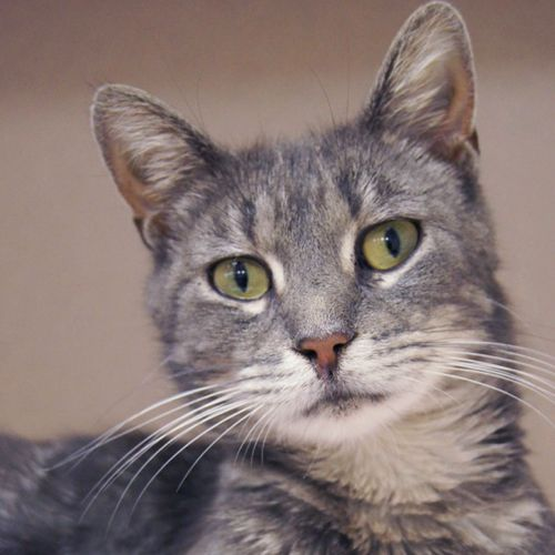 Shelly Is Approximately 3 Years Old Spayed Female Gray Tabby Domestic Short Hair Cat Shelly Was Found In A Box With Grey Tabby Cats Lucky Dogs Cat Adoption