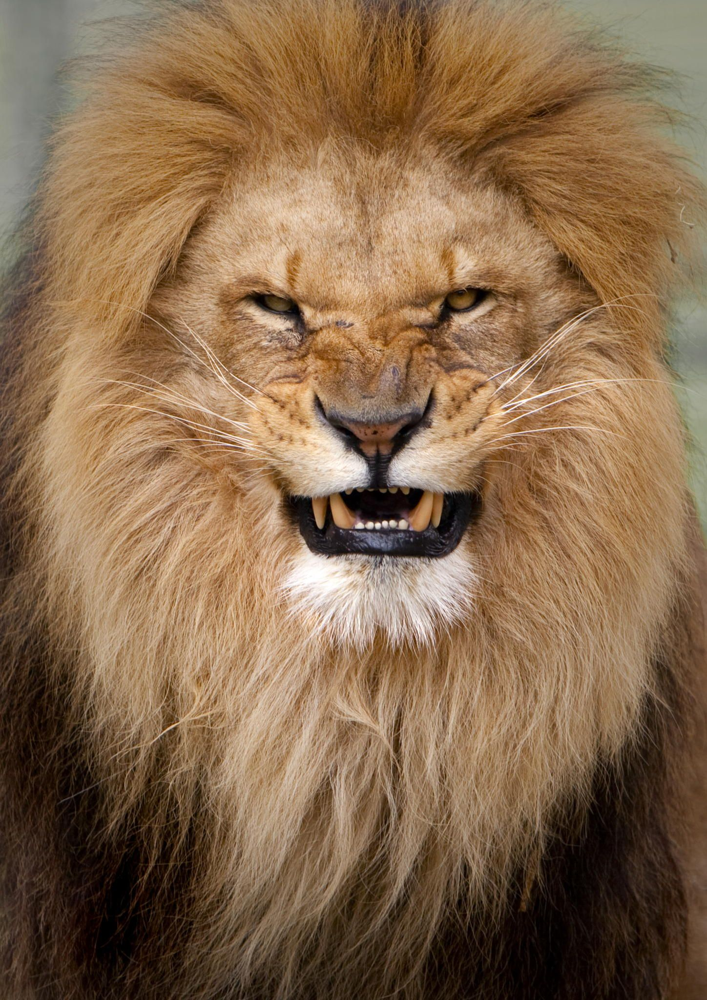 Portraitt of an angry lion | Photography | Animals, Lion