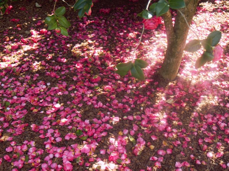 A Carpet Of Camellia Petals Petals Flowers Carnival
