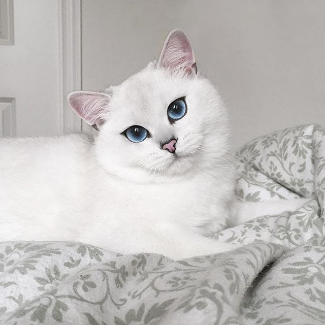 Let Coby Captivate You With His Striking Blue Eyes This Classic British Shorthair Enjoys Playing With His Rubber Ducky And D Crazy Cats Pretty Cats Cute Cats
