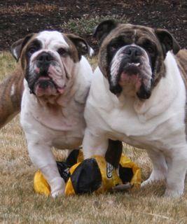 Doc And Wyatt Bulldog French Bulldog Dogs
