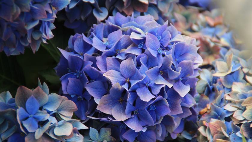 faut il tailler les fleurs des hortensias en automne. Black Bedroom Furniture Sets. Home Design Ideas