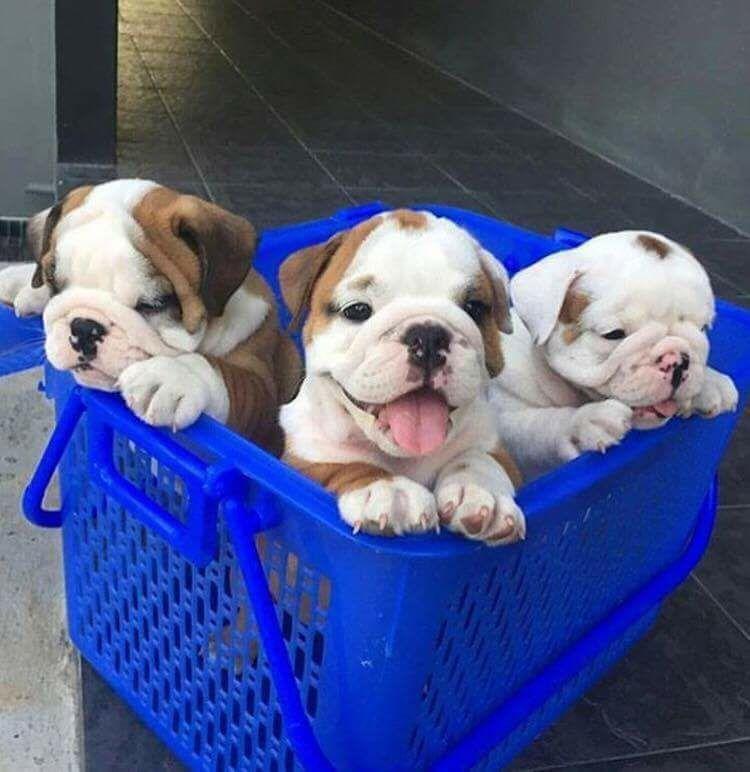 Basket Full Of Ebs English Bulldog Puppies