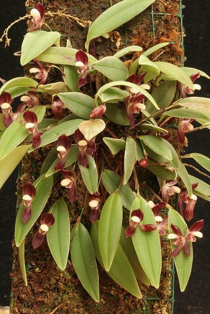 Pleurothallis carnosilabia - Flickr - Photo Sharing!