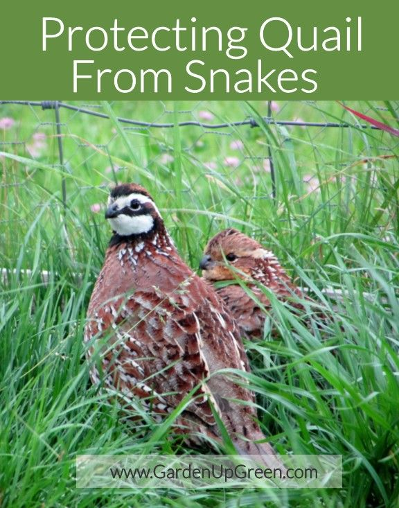 Protecting Quail From Snakes With Images Chickens Backyard