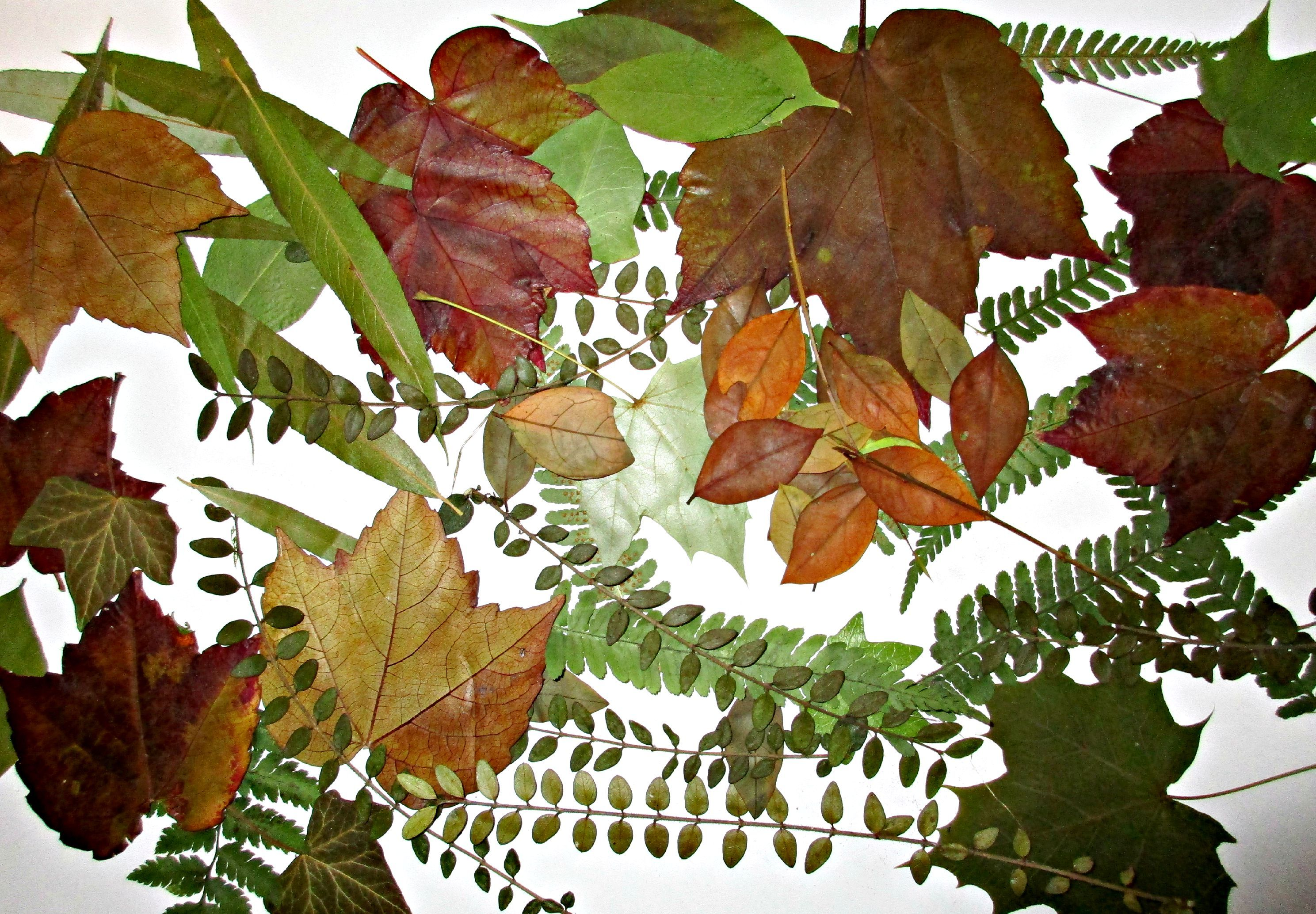 pressed leaves - Google Search