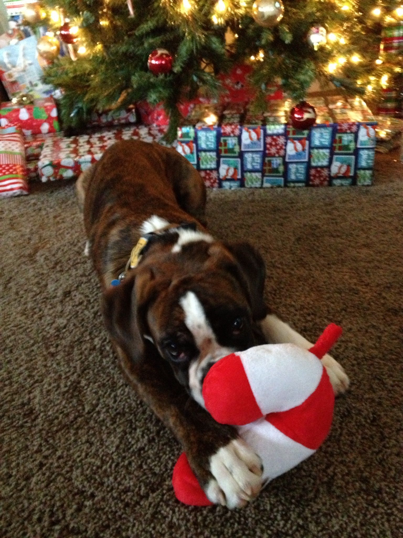 Puppy Boxer On Christmas Morning Boxer Puppies Boxer Love Boxer Dog Breed