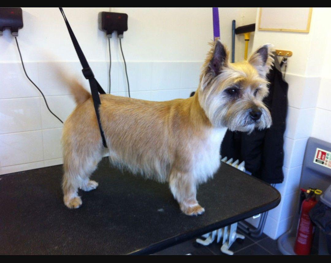 cairn terrier | westie & cairn terrier | cairn terrier