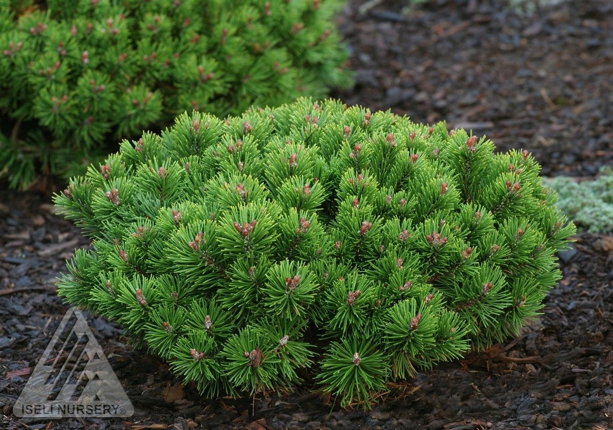 Pinus Mugo  U0026 39  Teeny  U0026 39  Miniature Mugo Pine