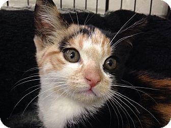 River Edge Nj Calico Meet Maize A Kitten For Adoption Http Www Adoptapet Com Pet 16797581 River Edge New Jersey Kitte With Images Kitten Adoption Pets Pet Adoption