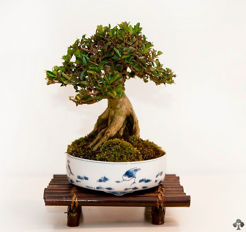 Shohin Gallery Bonsai Tree Bonsai Bonsai Art