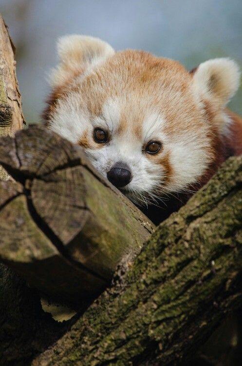Animalitos おしゃれまとめの人気アイデア Pinterest Angela Jimenez 動物 レッサーパンダ パンダ