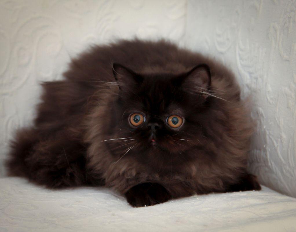 Victorian Gardens Cattery Himalayan Cat Cat Breeds Persian