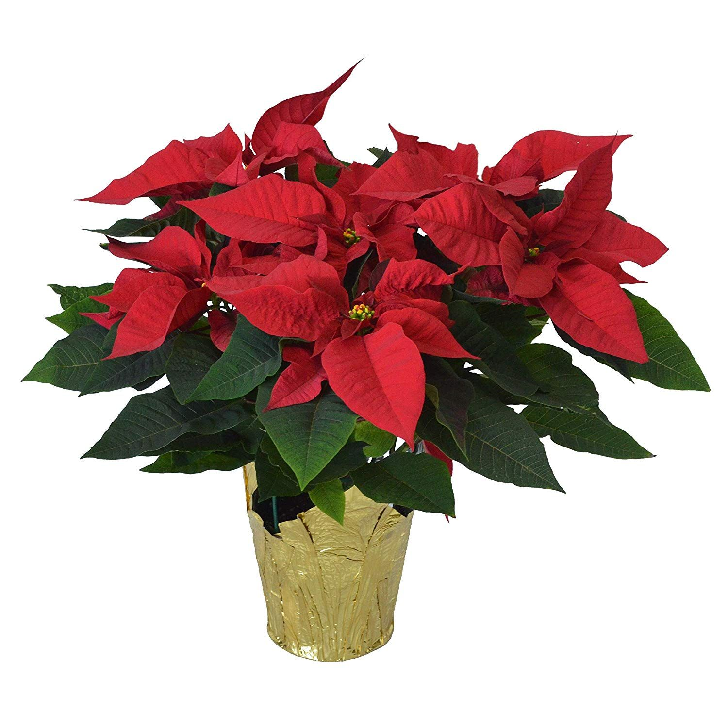Are Poinsettia Plants Poisonous Learn The Answer And Other Care Tips For Poinsettias At Https Www Houseplant411 Co Poinsettia Plant Plants Christmas Plants