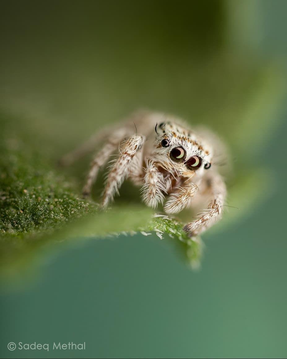 احد انواع العناكب النطاطة العراقية طول هذا العنكبوت الصغير 5 5mm تم ضبط الاضاءة باستخدام دفيوز Animal Planet Animals Lizard