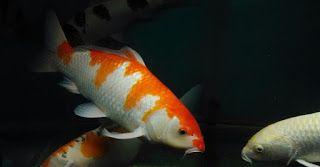 Cara Budidaya Ikan Koi Di Aquarium Cara Budidaya Ikan Koi Di