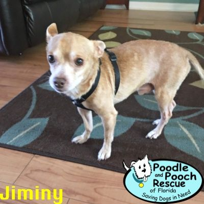 Jiminy Is A 6 Year Old 9 Pound Chihuahua Boy Poodle And Pooch