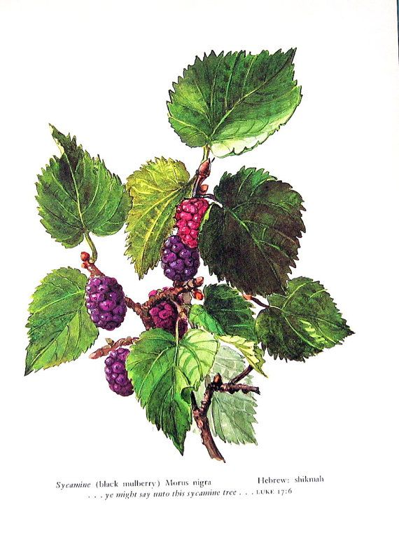 Black Mulberry Vintage 1957 Botanical Print by mysunshinevintage