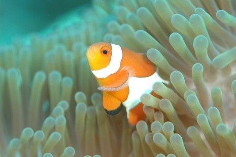 تفسير حلم رؤية السمك في المنام أو صيد سمكة لابن سيرين Saltwater Aquarium Clown Fish Fish