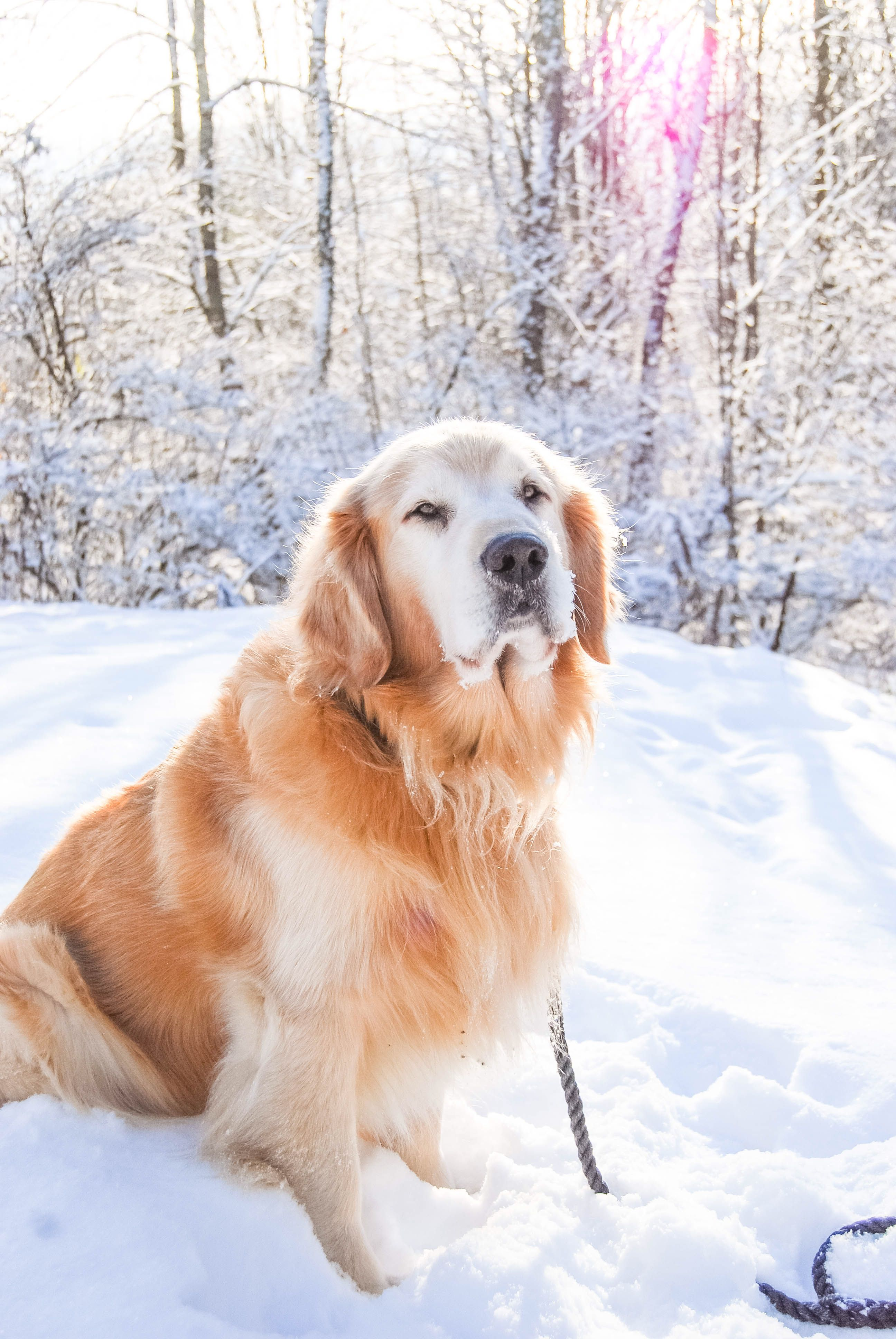 Pin By Jessica Sazhnyev On Nature Old Golden Retriever Dogs