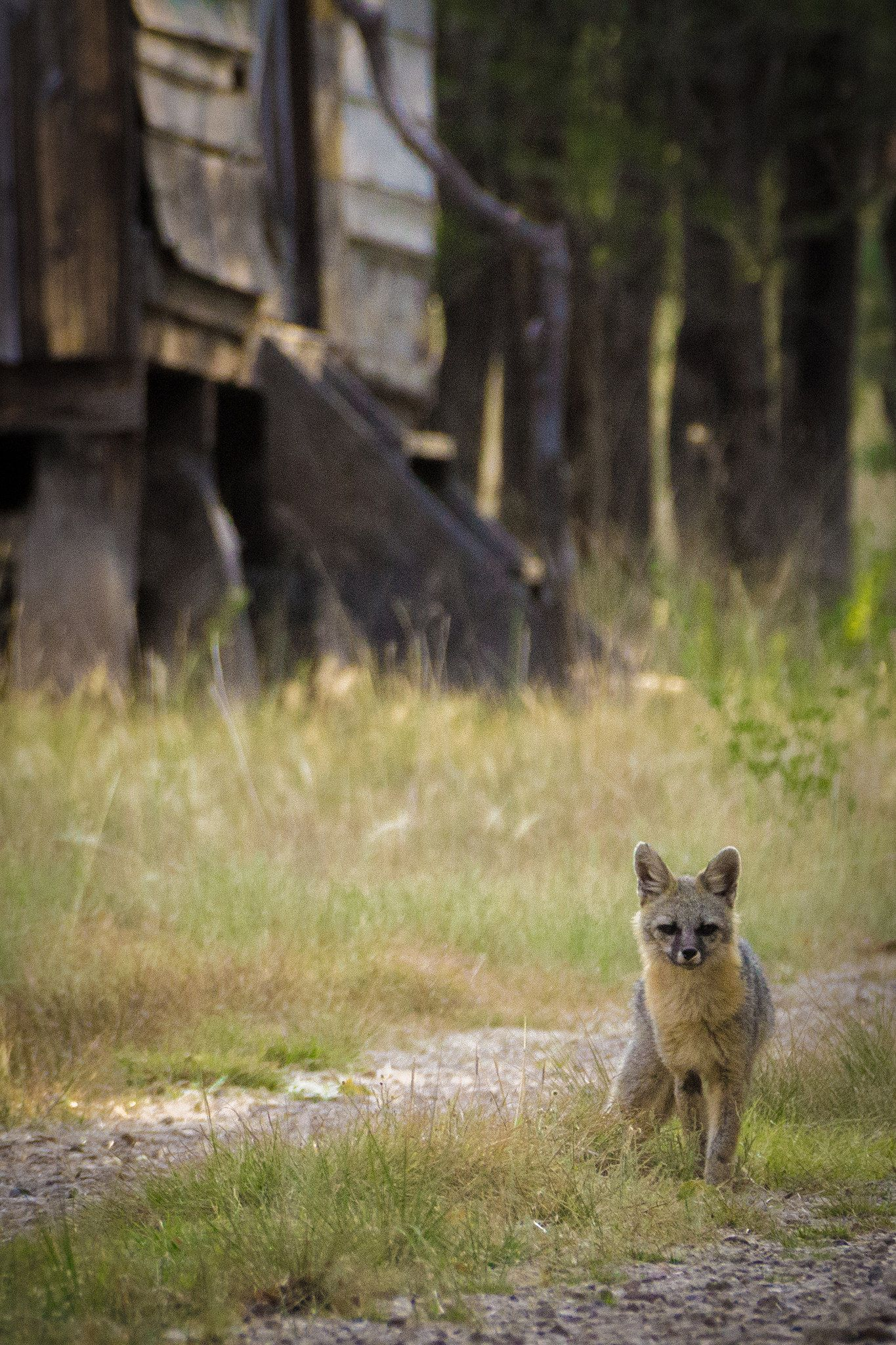 Images coyotes and coyotes hunting in tandem by matt knoth via - Dog