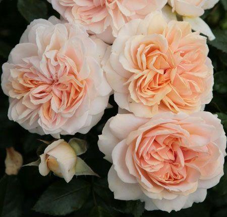Cream Garden Rose garden of roses (syn. cream veranda, joie de vivre) - kordes