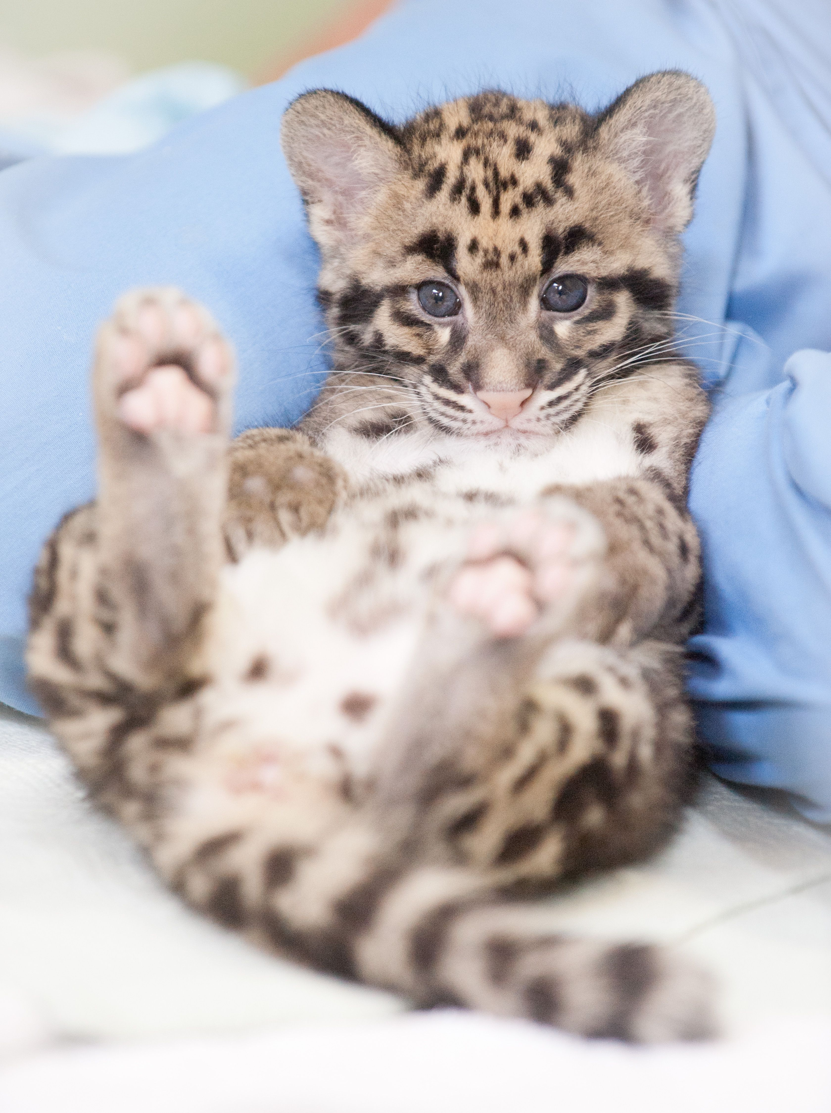 Endangered Clouded Leopard Cubs Born At Point Defiance Zoo
