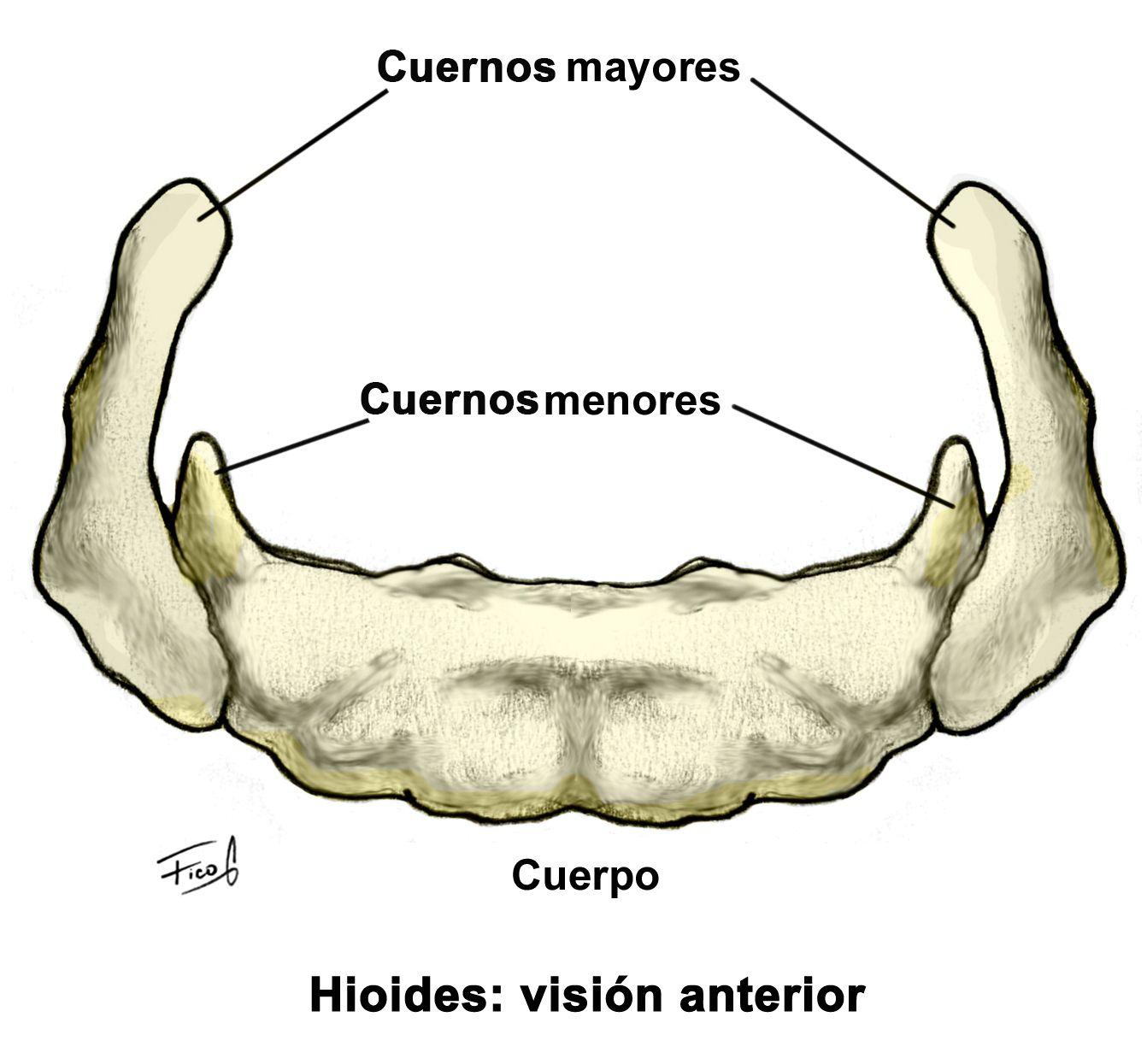 Hueso hioides: visión anterior   Osteologia   Pinterest
